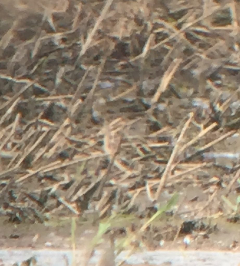 A very well camoflaged Wilson Snipe at the Millet Pond in Walla Walla