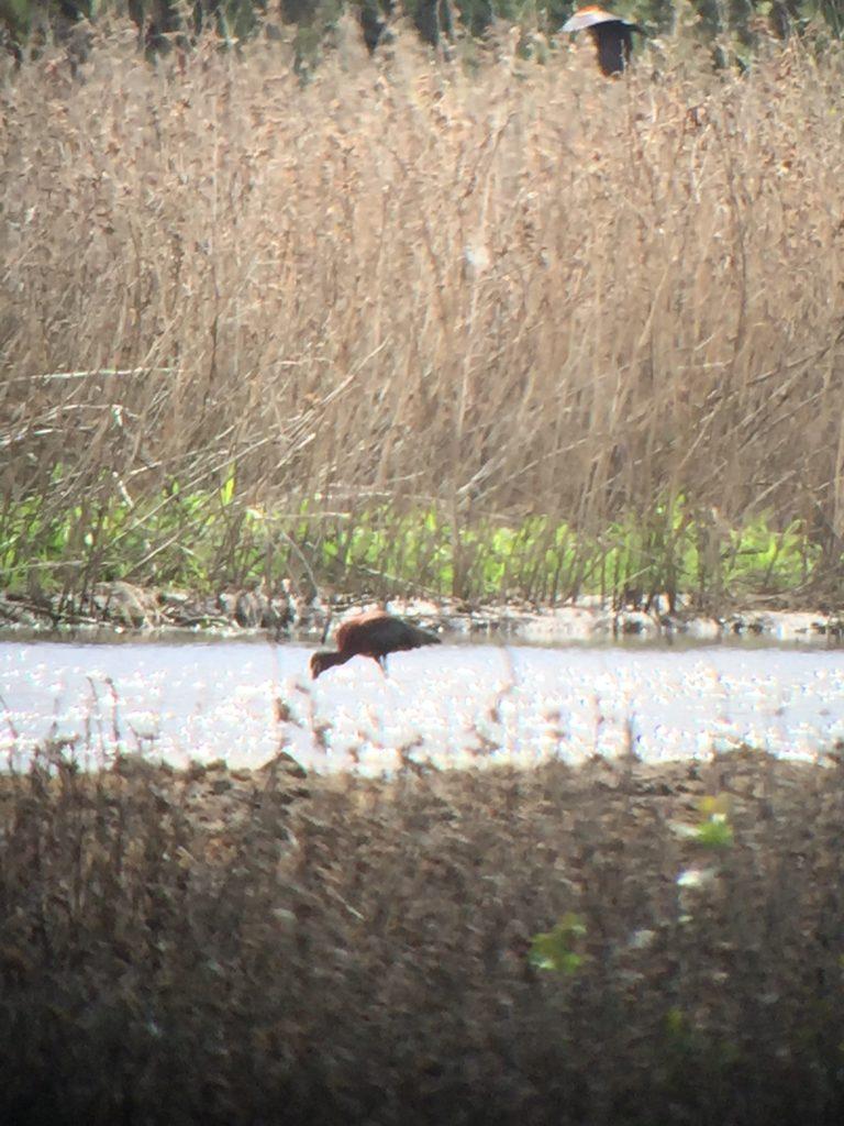 White-faced ibis feeding as another takes flight