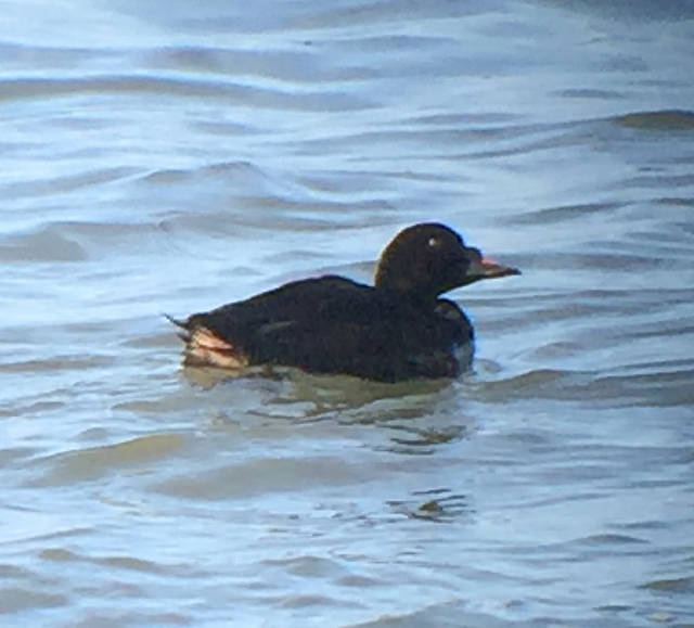 Common Scoter at Lincoln City, OR